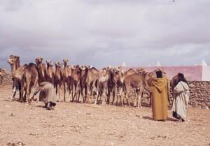 Morocco's Camel Festival