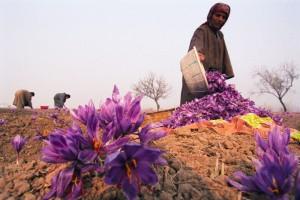 Visit Morocco's Saffron Festival