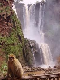 Barbary monkey